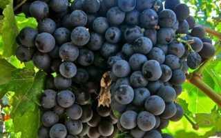 Виноградный сорт консул