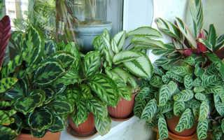 Цветок калатея как ухаживать в домашних условиях