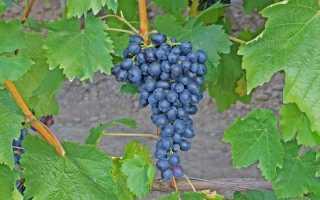 Как определить сорт винограда по внешнему виду