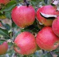 Выращивание яблони подарок графскому