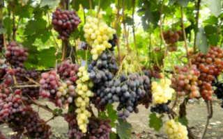 Зачем нужна прививка винограда
