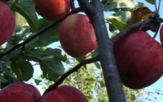 Описание и характеристики яблони сорта горнист посадка выращивание и уход