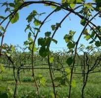 Все о посадке виноградной лозы в средней полосе россии