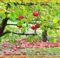 Cорта яблони для урала описание и характеристика
