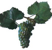 Характеристика винограда сорта алиготе
