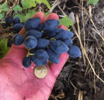 Описание винограда сорта ромбик