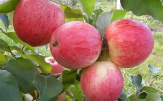 Яблоня штрифель описание сорта