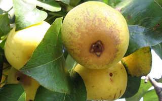 Груша лимонадная описание сорта