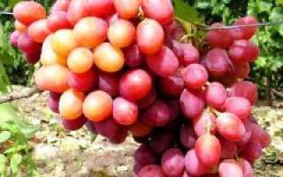 Характеристики винограда анюта