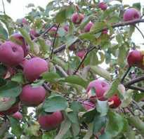 Белорусское малиновое описание сорта