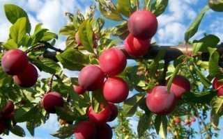 Особенности сорта и выращивания сливы генеральской