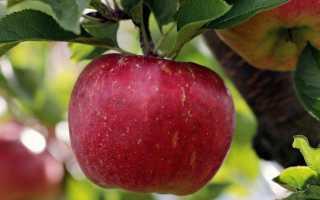 Апорт сортотип яблони