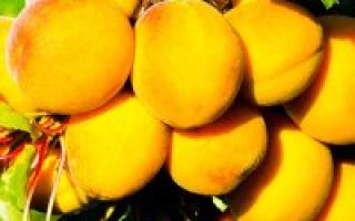 Описание кичигинского абрикоса