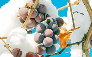 Как укрывается виноград землей на зиму
