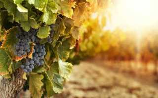 Что такое виноградная лоза