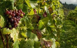 Подготовка винограда к весеннему опрыскиванию