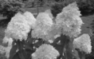 Гортензия метельчатая обзор сортов
