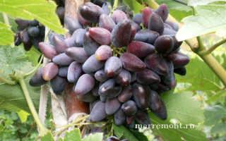 Викинг уникальный виноград