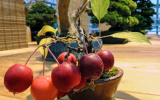 Можно ли вырастить яблоню из семечка