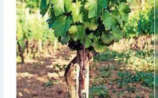 Правильная глубина при посадке винограда