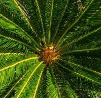 Все виды пальм комнатных