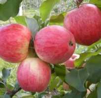 Как выбрать яблоню по сроку созревания