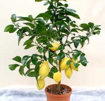 Выращиваем лимона из косточки