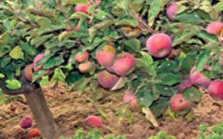 Описание сорта яблоня ковровое основные характеристики и выращивание
