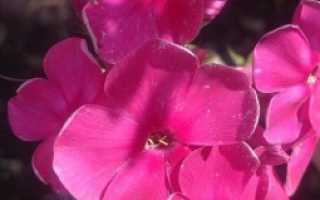 Цветы садовые многолетние каталог