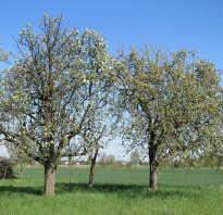 Подробное описание плодов и дерева груши