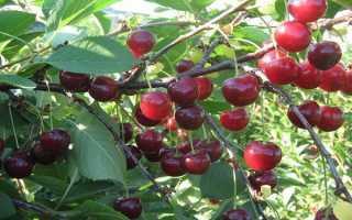 Выращивание кустарниковой вишни