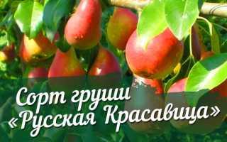 Груша русская красавица описание сорта фото отзывы опылители