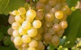 Описание киевского винограда