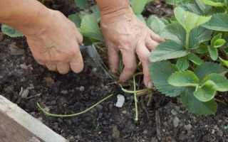 Когда пересаживать клубнику весной или осенью