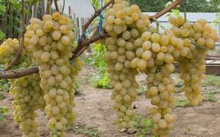 Виноград валентина описание сорта фото отзывы