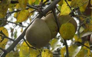 Удобрение для груши осенью чем подкормить в зиму