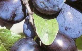 Особенности сорта сливы чернослив