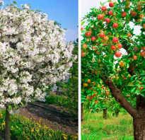 Яблони на карликовом подвое сорта