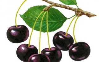 Сорта вишни для северо западного региона