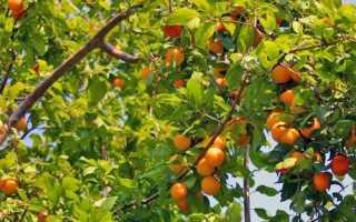 Какой выбрать сорт абрикос для подмосковья