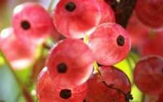 Смородина голландская розовая описание