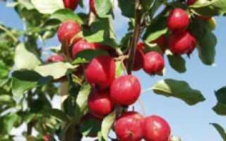Яблоня сливолистная или китайка