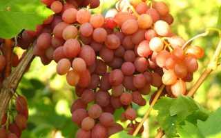Лучистый виноград кишмиш