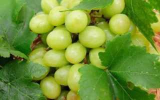 Правила выращивания сорта винограда прозрачный