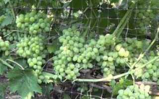 Виноград элегант особенности сорта размножение и уход