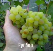 Агротехника для винограда русбол