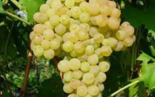 Бессемянный сорт винограда кишмиша 342
