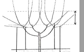 Схема формировки черешни испанским кустом