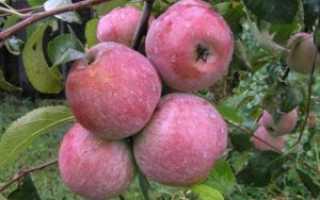 Особенности яблони сорта уэлси