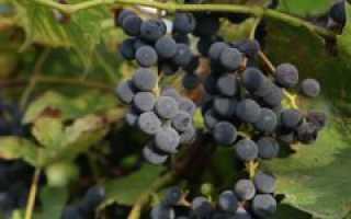 Виноград изабелла основные характеристики особенности посадки и ухода